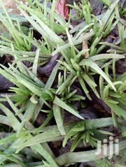 Plant Herbs For Sale | Feeds, Supplements & Seeds for sale in Machakos, Syokimau/Mulolongo