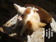 Young Female Purebred Japanese Spitz | Dogs & Puppies for sale in Kiambu, Hospital (Thika)