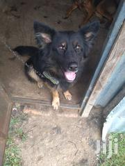 Adult Male Purebred German Shepherd Dog | Dogs & Puppies for sale in Kisumu, Central Nyakach
