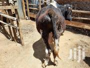 2 Year Old Calf | Livestock & Poultry for sale in Kiambu, Ruiru