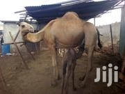Camel Milk | Meals & Drinks for sale in Nairobi, Nairobi Central