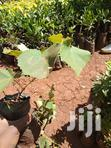 Grapes Seedlings Of High Quality | Feeds, Supplements & Seeds for sale in Township G, Murang'a, Kenya