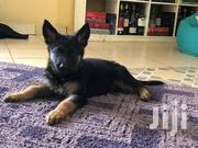 Baby Male Purebred German Shepherd Dog | Dogs & Puppies for sale in Nairobi, Ngara