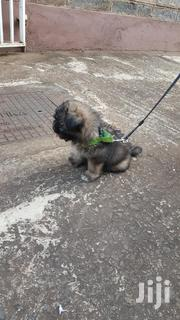 Baby Male Purebred Shih Tzu | Dogs & Puppies for sale in Nairobi, Parklands/Highridge