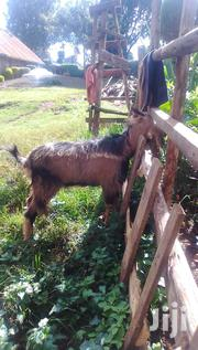 Goats On Sale | Livestock & Poultry for sale in Nyeri, Ruring'U