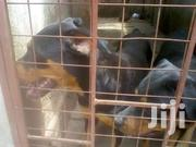 Young Female Purebred Rottweiler | Dogs & Puppies for sale in Mombasa, Bamburi