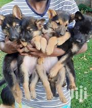 Baby Male Purebred German Shepherd Dog | Dogs & Puppies for sale in Nairobi, Karura