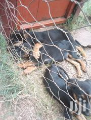 Young Male Mixed Breed | Dogs & Puppies for sale in Nairobi, Embakasi