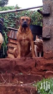 Boerboel Stud Services | Pet Services for sale in Nairobi, Karura