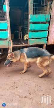 Young Female Mixed Breed German Shepherd Dog | Dogs & Puppies for sale in Kisumu, Kisumu North