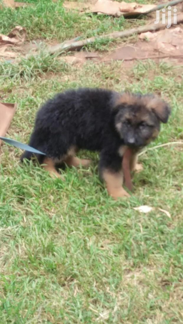 Archive: Baby Male Purebred German Shepherd Dog