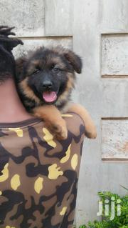 Baby Male Purebred German Shepherd Dog   Dogs & Puppies for sale in Nairobi, Nairobi Central