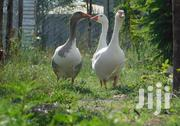 Ducks And Geese | Livestock & Poultry for sale in Kajiado, Kitengela