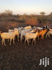 Mandera Goats Suppliers | Other Animals for sale in Mandera, Township