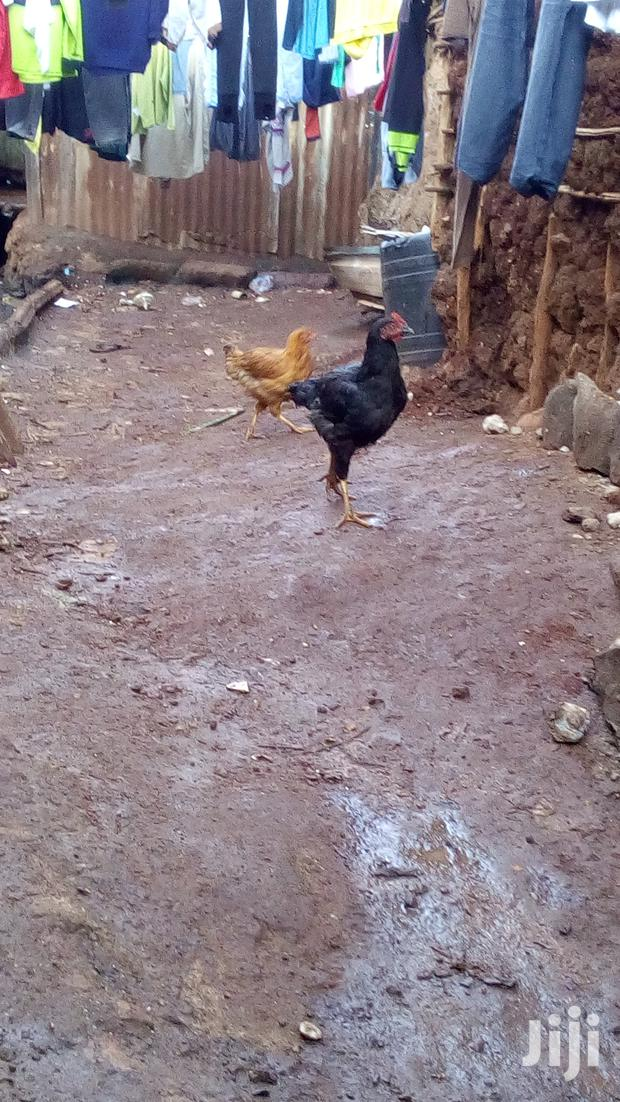 Archive: Hens And Cocks