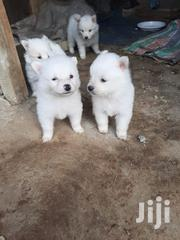 Baby Female Purebred Japanese Spitz | Dogs & Puppies for sale in Uasin Gishu, Kapsoya