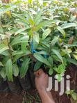 Mangoes Seedlings | Feeds, Supplements & Seeds for sale in Township G, Murang'a, Kenya