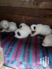 Baby Female Purebred Maltese | Dogs & Puppies for sale in Nairobi, Kahawa