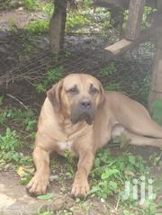 Senior Male Purebred Boerboel | Dogs & Puppies for sale in Meru, Ntima West