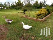 Mature Male And Female Goose For Sale   Birds for sale in Kisumu, Ahero
