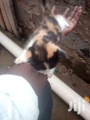 Young Male Mixed Breed | Cats & Kittens for sale in Nairobi, Roysambu