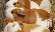 Guinea Pigs/Kanyuru   Other Animals for sale in Bungoma, Musikoma