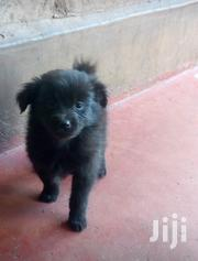 Baby Male Mixed Breed Japanese Spitz | Dogs & Puppies for sale in Nairobi, Pangani