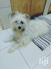 Young Male Mixed Breed Maltese | Dogs & Puppies for sale in Uasin Gishu, Kaptagat