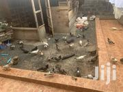 Healthy Pigeons For 1500 Pair | Other Animals for sale in Nairobi, Harambee