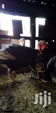 Mature Turkeys Available | Livestock & Poultry for sale in Kahawa West, Nairobi, Kenya