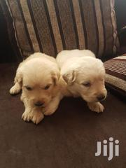 Baby Male Purebred Golden Retriever | Dogs & Puppies for sale in Nairobi, Harambee