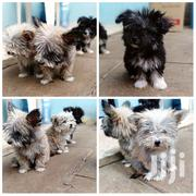 Young Male Mixed Breed Australian Terrier | Dogs & Puppies for sale in Nairobi, Karura