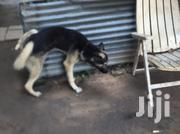 Young Male Purebred German Shepherd Dog | Dogs & Puppies for sale in Kisumu, Migosi