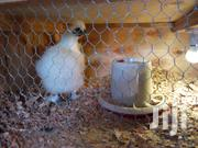 Pure Silkie Bantam Cock For Sale | Livestock & Poultry for sale in Kisumu, Ahero