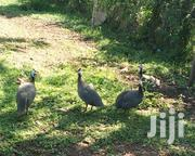 Guinea Fowl (Dotted) And Chicks For Sale | Livestock & Poultry for sale in Kisumu, Central Kisumu