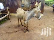 Donkey For Sale | Other Animals for sale in Kiambu, Karuri