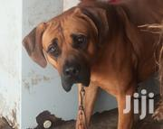 Adult Male Purebred Boerboel | Dogs & Puppies for sale in Nairobi, Karen