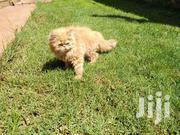 Baby Male Purebred Persian | Cats & Kittens for sale in Nairobi, Kahawa