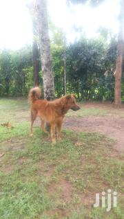 Adult Male Purebred German Shepherd Dog | Dogs & Puppies for sale in Kisumu, Kajulu