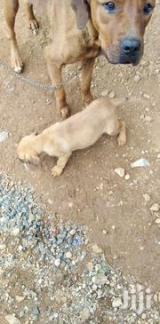 Young Female Purebred Boerboel | Dogs & Puppies for sale in Uasin Gishu, Kapsaos (Turbo)
