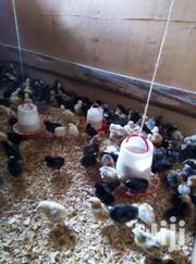 Chicks For Sale | Livestock & Poultry for sale in Laikipia, Nanyuki