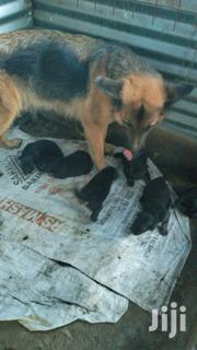 Baby Male Purebred German Shepherd Dog | Dogs & Puppies for sale in Kisumu, Ahero