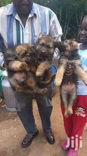 Male And Female Gsd Puppies | Dogs & Puppies for sale in Nairobi, Kitisuru