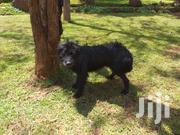 Adult Female Mixed Breed | Dogs & Puppies for sale in Nairobi, Karen