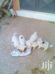 Chihuahua For Sale In Kenyatta Road,Kiambu County | Dogs & Puppies for sale in Kiambu, Juja