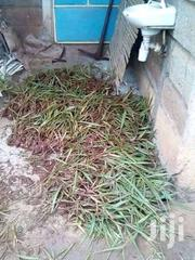 Brachiaria Grass Seedlings | Feeds, Supplements & Seeds for sale in Murang'a, Nginda