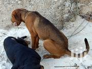 Young Female Mixed Breed Boerboel | Dogs & Puppies for sale in Kilifi, Sokoni