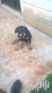 2 Month Old Rottweiler Puppies For Sale . | Dogs & Puppies for sale in Kiambu, Limuru East