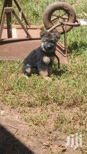 Baby Male Purebred German Shepherd Dog | Dogs & Puppies for sale in Nairobi, Nairobi Central