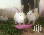 Rabbits For Sale | Livestock & Poultry for sale in Nakuru, Soin (Rongai)